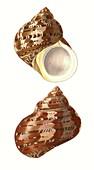 Tapestry turban sea snail shell