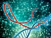 CRISPR-Cas9 gene editing complex
