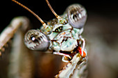 Head of a Theopompa mantis