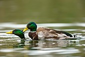 Mallard ducks same-sex sexual behaviour