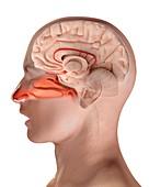 Human olfactory system,illustration