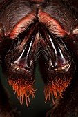 Indian ornamental tree spider mouthparts