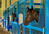 Race horses in stables