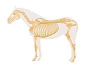 Equine skeletal system,illustration