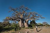 Baobab tree,Kubu Island,Botswana