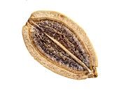 Dill seed grain,LM