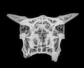 X-ray of a skull of a cow