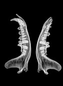 X-ray of jaws of a Wolf