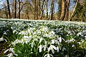 Snowdrops (Galanthus sp.)