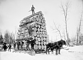 Timber logging,late 19th century