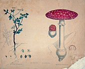 Herb and mushroom,1850s illustration