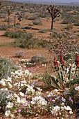 Blooming California Desert