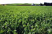 A Pea Field Near Moscow,Idaho