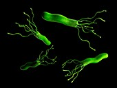 Helicobacter pyloris bacteria