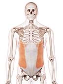 Human abdominal muscles