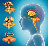 Child's brain anatomy,illustration