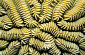 Macro of Maze Coral showing pattern