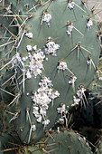 Cochineal Bugs on a Prickly Pear