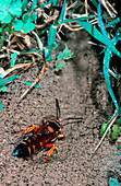Cicada killer wasp excavating