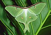 Luna moth on leaf