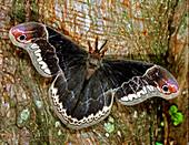 Male Promethea Moth