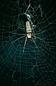 Golden Orb Web spider (Nephila sp)