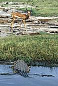Nile Crocodile & Impala