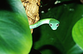 Long-Nosed Vine Snake