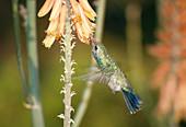Broadbilled Hummingbird at flower