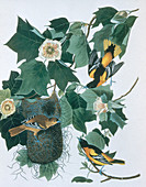 Baltimore Orioles by Audubon