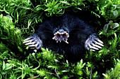Star-Nosed Mole (Condylura cristata)