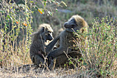 Olive Baboon female grooming male