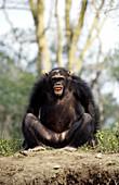 Chimpanzee showing aggression