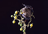 Toltec Fruit-eating Bat