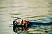 Sea otter (Enhydra lutris) holding a starfish