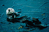 Sea otter (Enhydra lutris) in bull kelp bed