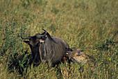 Hyena attacking a wildebeest