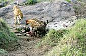 Confrontation of lioness and hyenas