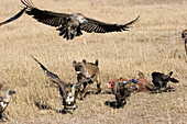Spotted Hyenas chasing vultures off kill