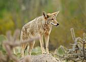 'Coyote,Canis latrans,in desert habitat'