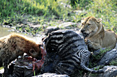 Hyena and Lioness Sharing a Zebra