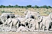 'African Elephant,Etosha,Namibia'