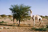 Camel eating Acacia leaves