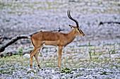 'Black-faced Impala,Etosha,Namibia'