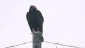 Black vulture on wooden post