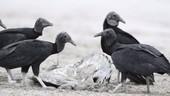 Black vultures eating turtle