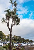 A palm tree growing in Plockton due to the Gulf Stream