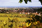 The wine-growing landscape near Deidesheim (in the Palatinate region of Germany)