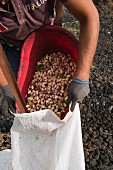 Ripe pistachios being filled into a sack in the Bronte region of Sicily, Italy