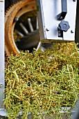 Traubenauslese, Weingut Dirk Niepoort, Douro-Tal, Vale de Mendiz, Portugal